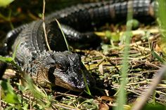 Baby Alligator Up Close and Personal in the Everglades.  From my Miami trip.