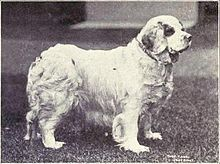 Clumber Spaniel - Wikipedia, the free encyclopedia Clumber Spaniel, Spaniel Dog, Spaniels, Massive Dogs, Dog Stencil, Black And White Dog, Medium Dogs, Historical Photos, Dog Love