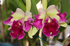 Orquídoidera... • Jardim de Siguta •