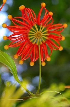 Stenocarpus sinuatus, Australian firewheel tree — or it could have been designed by Marimekko or Dr. Seuss.