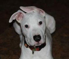 Halo is an adoptable Dogo Argentino Dog in Frisco, TX. . Halo is a precious purebred Dogo Argentino. Halo was an owner release as her new owners had realized she was hearing impaired. Halo is a happy ...