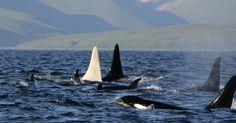 iceberg - the white orca (credits: E. Lazareva/Far East Russia Orca Project/AFP)