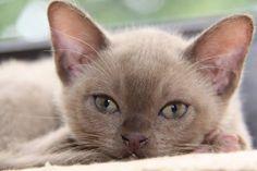 Burmees kitten