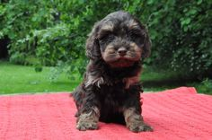 Cockerpoo puppies | Lydney, Gloucestershire | Pets4Homes