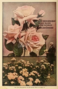 Seeds Catalogs 01608 038 Rose Botanical Fl Botany Natural Naturalist Nature Flowers Flower Beautiful Nice