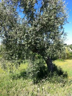 How to care for and prune olive trees