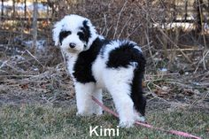Sheepadoodle. Will someone please talk my husband into getting this dog for me! Love!