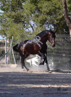 Zedin Andalusian Horse, Horses, Artwork, Animals, Spanish, Work Of Art, Animales, Auguste Rodin Artwork, Animaux
