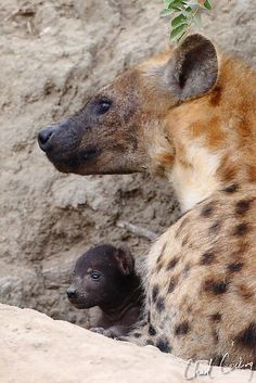 mom with baby Hyena