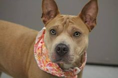 RETURNED TO OWNER>NAME: Sandy  ANIMAL ID: 24090166  BREED: Sharpei mix  SEX: female  EST. AGE: 1 yr  Est Weight: 45 lbs  Health: heartworm neg  Temperament: dog friendly, people friendly  ADDITIONAL INFO: RESCUE PULL FEE: $49  Intake date: 1/8  Available: Now