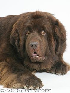 brown newf....just like my Charmin girl...miss her