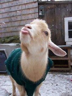 Baby goat catching snowflakes