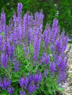 salvia nemorosa marcus garden sage from north creek nurseries - Common Purple Garden Flowers