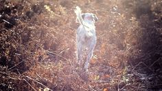 Pheasant Hunting and cool English Setter!