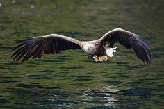 White-tailed eagle - White-tailed eagle