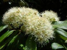 Backhousia citriodora Australian Plants, Dandelion, Clay, Flowers, Clays, Dandelions, Taraxacum Officinale, Royal Icing Flowers, Flower