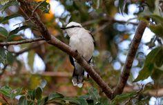 Foto lavadeira-mascarada (Fluvicola nengeta) por Evaldo HS Nascimento | Wiki Aves - A Enciclopédia das Aves do Brasil