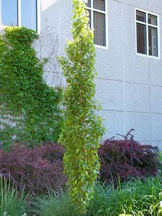 'Parkland Pillar' birch is a great choice for quick privacy, fast-growing and handsome tree has a tall, narrow growth habit that makes it a top pick to screen side yards or fence lines. Columnar Trees, Deciduous Trees, Trees And Shrubs, Boxwood Landscaping, Backyard Landscaping, Landscaping Ideas, Landscaping Software, Modern Landscaping, Backyard Ideas