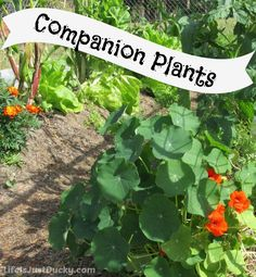 How do you plan your garden to take advantage of plant buddies. Companion Plants - What are they and what do they do? Here are my favorite four and why I like them in my organic vegetable garden.