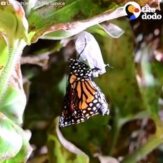 How a Caterpillar becomes a Butterfly! Nature Animals, Animals And Pets, Baby Animals, Funny Animals, Cute Animals, Cute Creatures, Beautiful Creatures, Animals Beautiful, Vida Animal