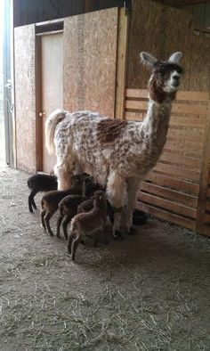 Curious Soay lambs investigate a llama.