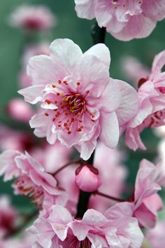 Cherry Blossom: Photo by Photographer Jenny Ross