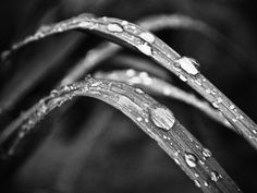 "8x10 Black and White. Nature Photography. Blade of Grass Rain water Drop Autumn, fall Macro. Metallic. 8"" x 10"". fine art photograph.. $25.00, via Etsy."