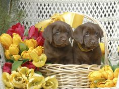 Photo about Two Labrador Puppies in Basket of Tulips. Image of pets, watching, floral - 4893082 Lab Puppies, Cute Puppies, I Love Dogs, Puppy Love, Graphic Design Layouts, Puppy Pictures, Labrador Retriever, Dog Cat, Pets