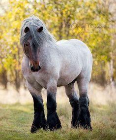 Brabant horse by Olesya Nickolaeva on 500px