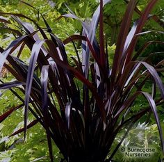 View picture of Phormium, New Zealand Flax 'Black Adder' (Phormium) at Dave's Garden. All pictures are contributed by our community. Garden Shrubs, Landscaping Plants, Garden Plants, Tropical Garden, Tropical Plants, New Zealand Flax, Cactus Plante, Flax Plant, Monrovia Plants