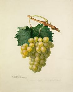 Augusta Innes Withers] -- The Cannon Hall Muscat Grape -- Fruit, Vegetables and Herbs -- RHS Prints