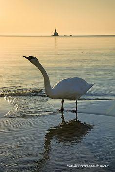 Swan at de Paraporti Beach in Andros Island, Kyklades, South Aegean_ Greece