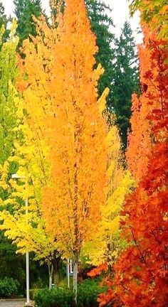 Autumn colors. I call these paint brush trees!