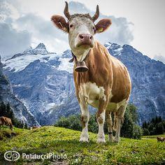 """The Proud Cow"" - Patitucci Photo: Professional Outdoor Industry, Mountain Sport & Travel Photographers. Interlaken, Switzerland http://patitucciphoto.com/"