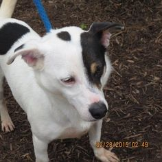 Meet MATEY-A BLACK EYE PATCH TERRIER MIX BOY, a Petfinder adoptable Terrier Dog | Vancouver, BC | This is Matey,  he is a 20 lb white boy with black spots and a tad bit of brown on him.  Matey is a...