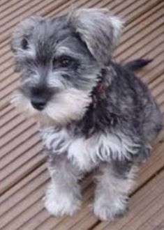 I want one of these so badly! Schnauzers are the best.