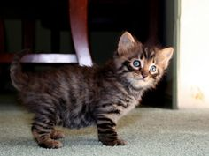 Toyger kitten....one day i will own one...or 5..  :)