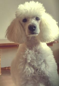 My white poodle :)