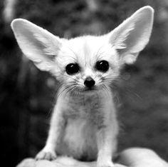 Love this little guy (baby fennec fox) ~♛