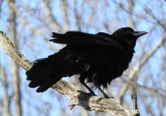 Angel the crow, shaking his tail feathers!