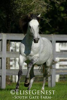 Lusitano stallion Acolito Interagro http://www.q-equestrian.com/horses_and_riders