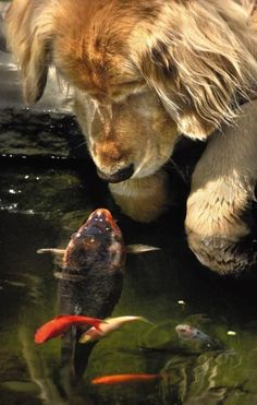 The Golden Retriever and the Koi The Animal Version A golden retriever waits by a shimmering pond, his face bent down to the glossy surface, waiting for a large multi-colored koi to rise up and nibble his nose. The golden retriever & the koi Rare Animals, Animals And Pets, Funny Animals, Wild Animals, Adorable Animals, Unique Animals, Animals Images, I Love Dogs, Cute Dogs