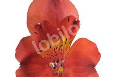 Alstroemeria-Fuego-9 bunches from Lobiloo