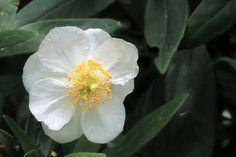 Carpenteria californica—bush anemone. Regional Parks Botanic Garden Photo of the Day. 24 May 17