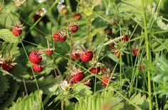 Klasickým jahodám sekundují ty maličké, lesní. Stačí slunný den, ve kterém jich hodně dozraje, a provoní půl zahrady. Božská vůně, báječná chuť! Strawberry, Fruit, Strawberry Fruit, Strawberries, Strawberry Plant
