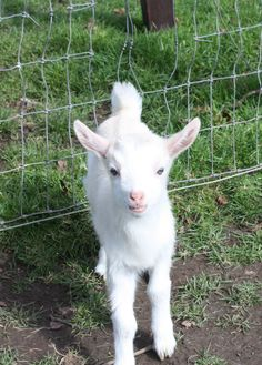 Baby goat Easter Newbridge House and Farm Donabate Dublin Ireland