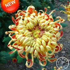 New Arrival!Fireworks Shape Orange Chrysanthemum Flower Seeds Softcover Bonsai Balcony 100 Seeds / bag,#N3WE3X