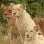 1 African Safari, Lion, Wildlife, Camping, Gallery, Animals, Leo, Campsite, Animales