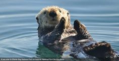 A sea otter at Glacier Bay National Park. Photo by NPS. Visitors can also see harbor seals, sea lions, porpoises, and several kinds of whale swim in the bay. Learn more about other national parks with amazing wildlife watching opportunities.