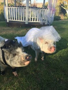 Baby Banks the Biker Pig and her Handsome Hubby Briar the Boar!